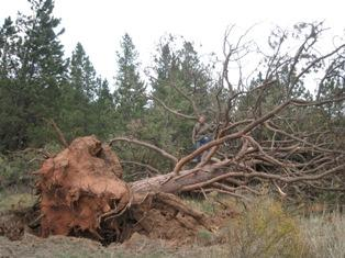 2008: After a mini-tornado hit, close to our field site in Colorado